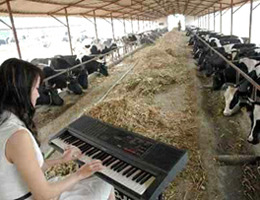 Nature, Nurture and Playing Music to Cows