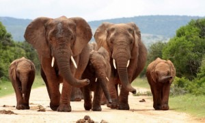 New regulations aimed at protecting Africa's endangered elephants are impacting violinists. (Shutterstock/Jonathan Pledger)