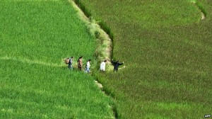 Chinese farmers claim soothing music makes rice fields green Chinese farmers claim soothing music makes rice fields green