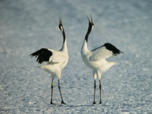 tim-laman-a-pair-of-japanese-or-red-crowned-cranes-engage-in-a-courtship-dance