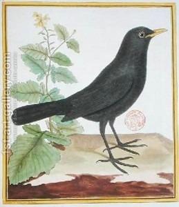 François Nicolas Martinet: Male French blackbird from Histoire Naturelle des Oiseaux by Georges du Buffon