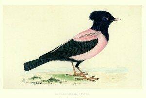Starling (image: iStock)