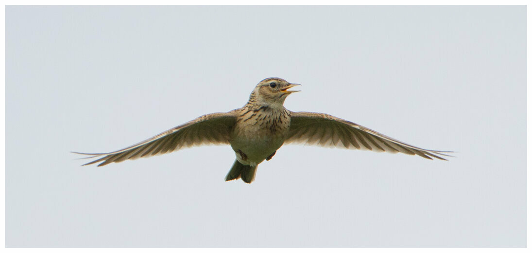 The Lark in flight © Pete Walkden