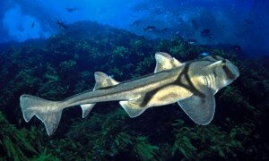 Fluke Ellington … a Port Jackson shark, the kind used in the jazz study. Photograph: David Fleetham/Alamy