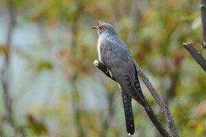 Russian cuckoo