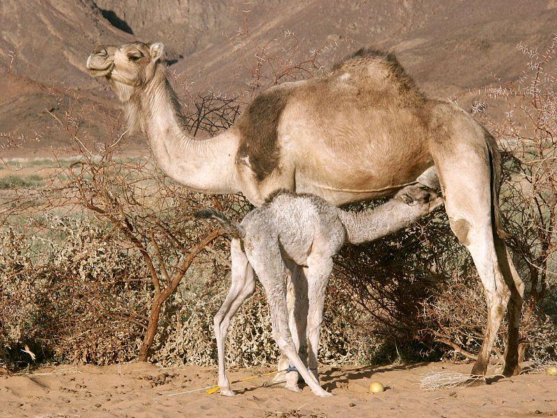 Coronavirus MERS-CoV<br/>The Virulent Camel
