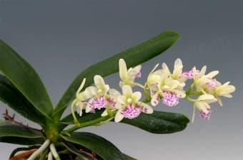 Sedirea japonica (Nagoran)