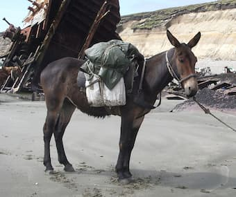 Another mode of transportation: a mule