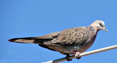 wild dove in classical music